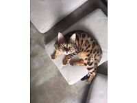 LOST 2yr old Bengal Cat (Brixton/Stockwell)