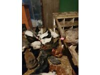 Pol and laying chickens for sale