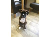 Male boxer puppy natural bobtail
