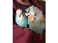 Hand reared baby budgies 8 weeks old