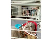 Netherland dwarf cross lop boys