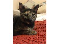 Gorgeous half Siamese kitten