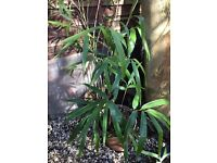 Healthy home grown bamboo in barrel style pot approx5ft with large leaves