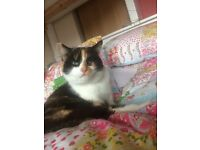 Friendly,timid female calico cat missing