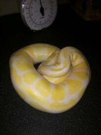 Female albino royal / ball python with viv