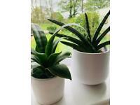 2 X sansevieria succulent potted plants