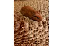 Beautiful baby female guinea pig