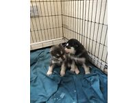 Pedigree Siberian husky puppies