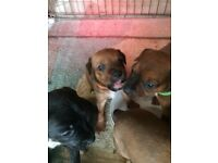 Stunning Patterdale/Russell puppies