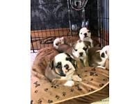 British Bulldog puppies for sale!