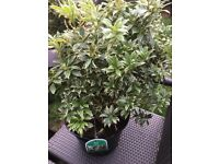Japonica white rum shrubs / plants