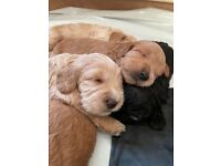 Gorgeous cockapoo puppies x7 available