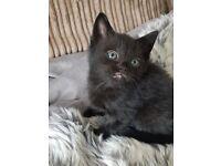 Beautiful kittens ready june 18th