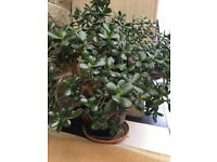 Money/jade plant in large ceramic pot. Over 40 years old but in excellent condition