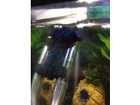 Blue Marble Over Halfmoon Betta Fish