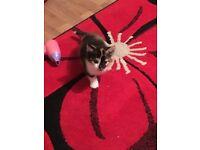 Tortishell female kitten