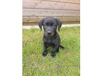 Labrador Puppy female