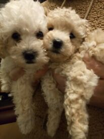 ***TOY POOCHON PUPPIES***