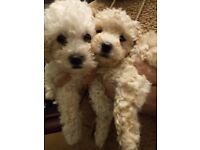 ***TOY POOCHON PUPPIES***only 1Boy left
