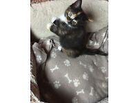 8 week female kitten, quarter ragdoll