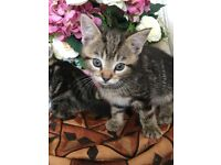 Pretty tabby female kitten