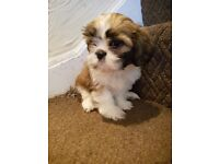 1 mail lashon puppy left