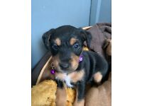 1 Beautiful Girl Lakeland Terrier Remaining
