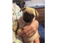 Pug girl for sale