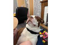 Boston terrier cross