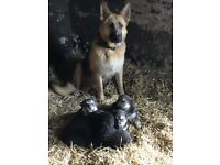 Gorgeous Big Boned Farm Bred German Shepherd Puppies