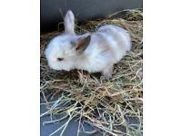 7 baby lop eared rabbits