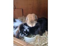 3 mini lop rabbits
