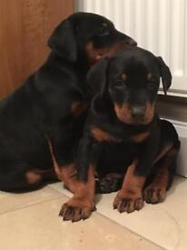Doberman pups