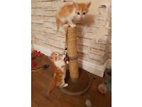 Cute Cross Ragdoll Kittens with Bright Blue Eyes