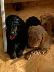 F2 Goldendoodle READY NOW - OPEN TO SENSIBLE OFFERS