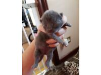 beautiful blue male kitten and solid black half british blue