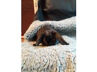 French lop (Giant Breed),buck 4mths old