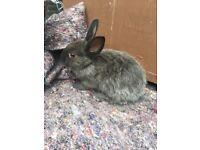 Netherland dwarf Rabbits 9 weeks old
