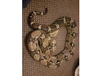 7ft pastel female snake must go asap no time wasters