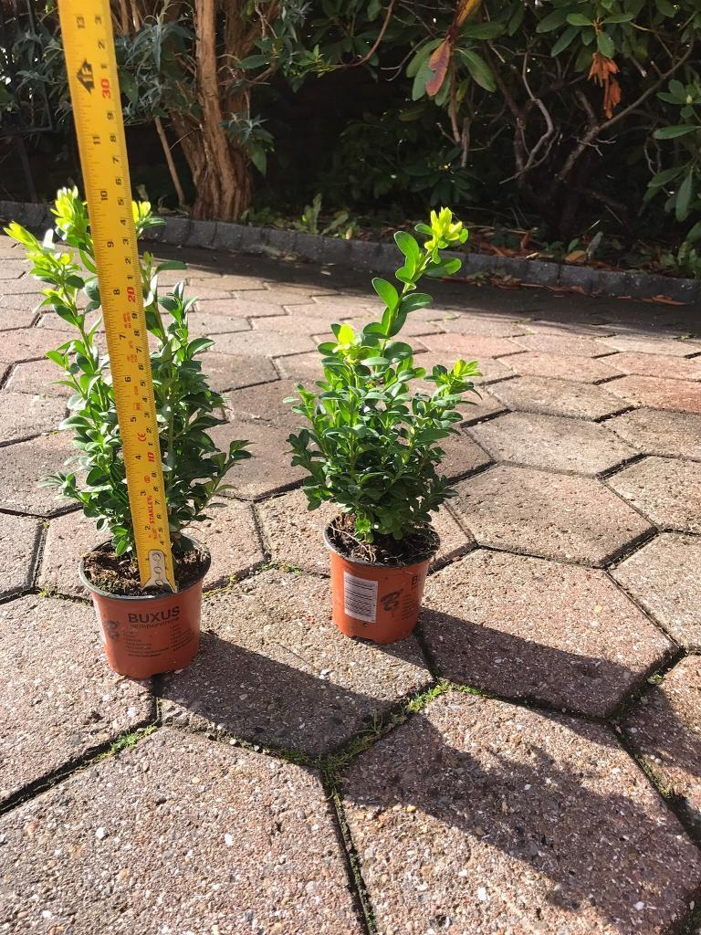 Box Hedge Plants - Buxus - 18 available