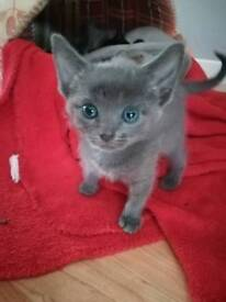 Metis kittens(Only blacks available)