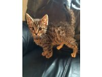 8 Wk Old Tabby Male £50