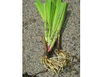 Pond Iris Plant