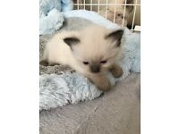 Stunning ragdoll seal kitten female for sale very cuddly and playful