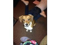 12 month old loving jack Russel terrier