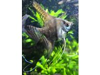 Angel Fish: Mixture of Angelfishes for sale