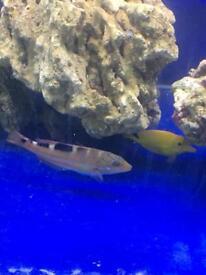 Marine wrasse fish