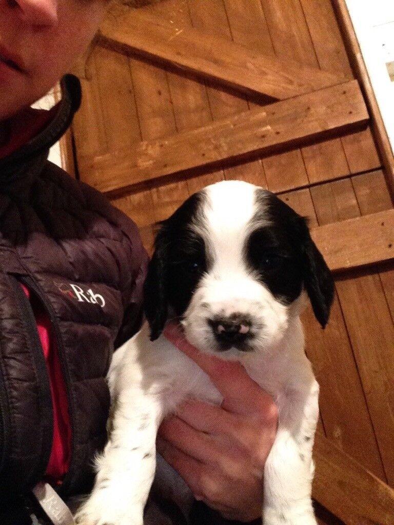 KC Reg Springer Spaniel pups