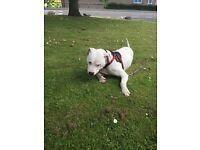 American bulldog cross 18 months old