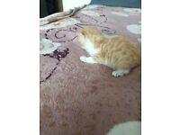Lovly 3x kitten only 1 ginger male left !!!